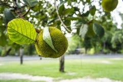 Baby jackfruit tree plant concept Royalty Free Stock Photo