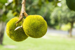 Baby jackfruit tree plant concept Royalty Free Stock Image