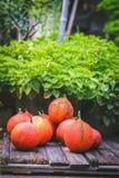 Baby Jackfruits Stock Image