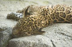 Baby Jaguar. A jaguar cub laying on a rock stretching out Royalty Free Stock Photo