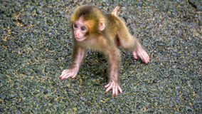 Baby Japanese Macaque learning to walk. Royalty Free Stock Photo