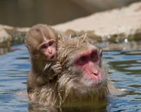 Baby Japanese Macaque Monkey Royalty Free Stock Image