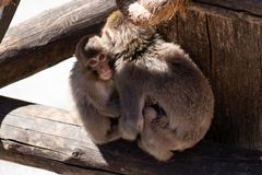 The baby Japanese macaque monkeys hugging mother and teases his tongue out stock photo