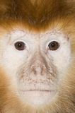 Baby Javan Brown Langur Royalty Free Stock Photo