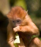 Baby Javan Langur Monkey Stock Photography