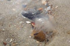 Baby jellyfish Stock Image