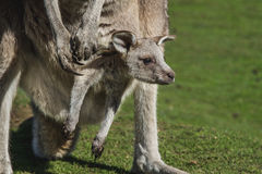 Baby joey. In the Australian wildlife royalty free stock image