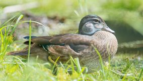 Baby / juvenile wood ducks found in the grass near floodplain waters of the Minnesota River.  stock image