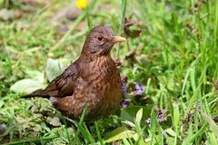 Baby juvinile blackbird standing in grass field Royalty Free Stock Photo