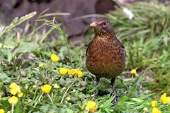 Baby juvinile blackbird standing in grass field Royalty Free Stock Image