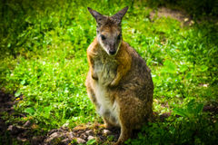 Baby-Känguru Stockfoto