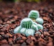 Baby-Kaktus, der auf Felsen im in guter Verfassung sitzt Lizenzfreie Stockbilder