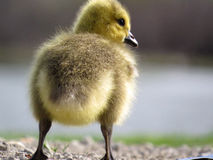 Baby-Kanada-Gans Gosling Fuzzy Bottom Stockfoto