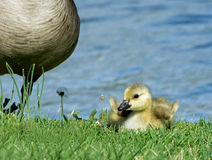 Baby Kanada Gosling mit angehobenen Flügeln Stockfotos