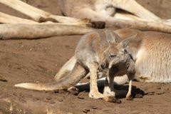 Baby kangaoor looking to the left Stock Image