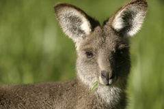 Baby kangaroo. A young kangaroo with a mouth full of grass Royalty Free Stock Image