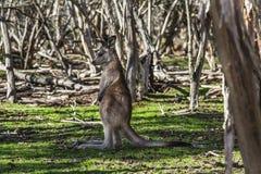 Baby Kangaroo. In the Australian wildlife Stock Photos
