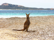 Baby kangaroo at the beach. Baby kangaroo at Lucky Bay beach in Cape Le Grand National Park Australia royalty free stock photography