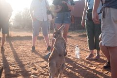 Baby Kangaroo in a circle of people. Baby kangaroo, waiting for a bottle in the middle of a circle of people stock images