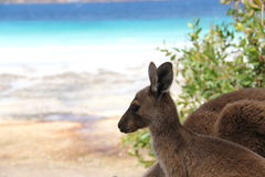 Baby kangaroo. Close up from a baby kangaroo at Lucky Bay in Cape Le Grand National Park Australia stock image