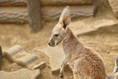 Baby kangaroo Royalty Free Stock Images
