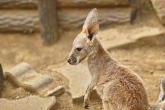 Baby kangaroo. Cute young or baby kangaroo stood alone Royalty Free Stock Images