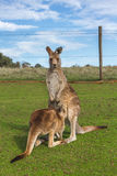 Baby kangaroo feeding in the Australian outback Royalty Free Stock Images