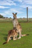 Baby kangaroo feeding in the Australian outback. Kangaroo feeding in the Australian outback Royalty Free Stock Images