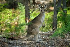 Baby kangaroo. In the forest stock photos