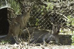 Baby kangaroo and her mother resting in the wild. Baby kangaroo and her mother resting in the wild Perth Western Australia Australia stock photography