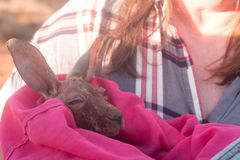 Baby Kangaroo in blanket. Baby kangaroo, a joey, in a blanket keeping warm royalty free stock photography