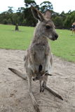 Baby Kangaroo Joey in mom's pouch Royalty Free Stock Photography