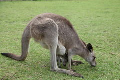 Baby Kangaroo Joey in mom's pouch Royalty Free Stock Photo