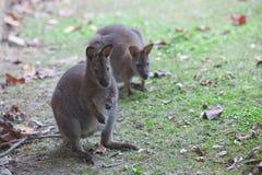 Baby kangaroo Royalty Free Stock Photos