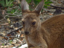Baby kangaroo. At Lucky Bay in Cape Le Grand National Park Australia royalty free stock photo