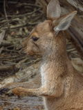 Baby kangaroo. At Lucky Bay in Cape Le Grand National Park Australia stock photography