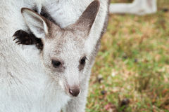Baby Kangaroo. In in mom's ventricular stock photos