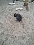 Baby kangaroo on the sand. In the Budapest Zoo, Hungary Royalty Free Stock Photography