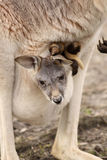 Baby kangaroo sitting in its mothers pouch. Animals: Baby kangaroo sitting in its mothers pouch stock image