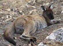 Baby Kangaroo. A Young Kangaroo, Cleland Wildlife Park, Australia Stock Image