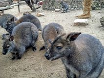 Baby kangaroos. In the Budapest Zoo, Hungary Royalty Free Stock Photos