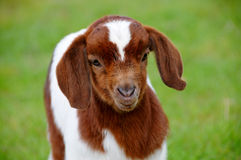 Baby Kid Goat. Portrait of Baby Kid Goat Royalty Free Stock Images