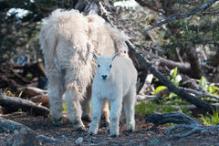 Baby Kid and Mother Nanny Mountain Goats among the shrubs on Hurricane Hill in Olympic National Park in Washington State Stock Images