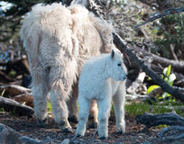 Baby Kid and Mother Nanny Mountain Goats among the shrubs on Hurricane Hill in Olympic National Park in Washington State Royalty Free Stock Photo