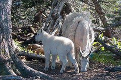 Baby Kid and Mother Nanny Mountain Goats among the trees on Hurricane Hill in Olympic National Park in Washington State Stock Photos