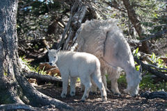Baby Kid and Mother Nanny Mountain Goats among the trees on Hurricane Hill in Olympic National Park in Washington State Stock Image