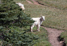 Baby Kid Mountain Goat on Hurricane Hill in Olympic National Park Washington State Stock Photography