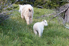 Baby Kid Mountain Goat and Nanny Mother climbing up grassy knoll on Hurricane Hill in Olympic National Park Royalty Free Stock Photo