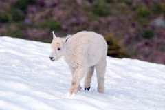 Baby Kid Mountain Goat tentatively walking through a snowfield on Hurricane Hill in Olympic National Park Stock Images
