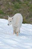 Baby Kid Mountain Goat walking through snowfield in Olympic National Park Washington State Stock Photography